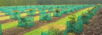 NZ Avocado orchardists plant up