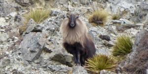 Himalayan tahr culls an overreaction