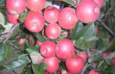 Fielding rural investment company, MyFarm is chasing $13 million for the lease and development of four apple orchards in Hawke's Bay.
