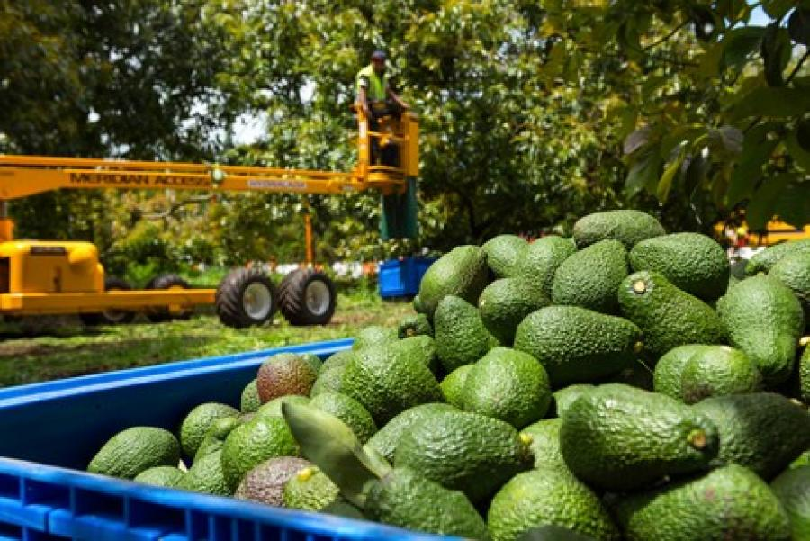 Seeka's avocado harvest has started