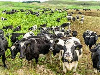 OECD: NZ must tackle cow emissions