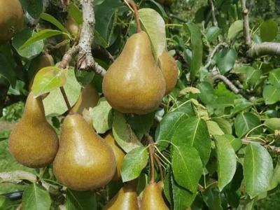 Key investments leads to greater quality for a Greytown pear grower