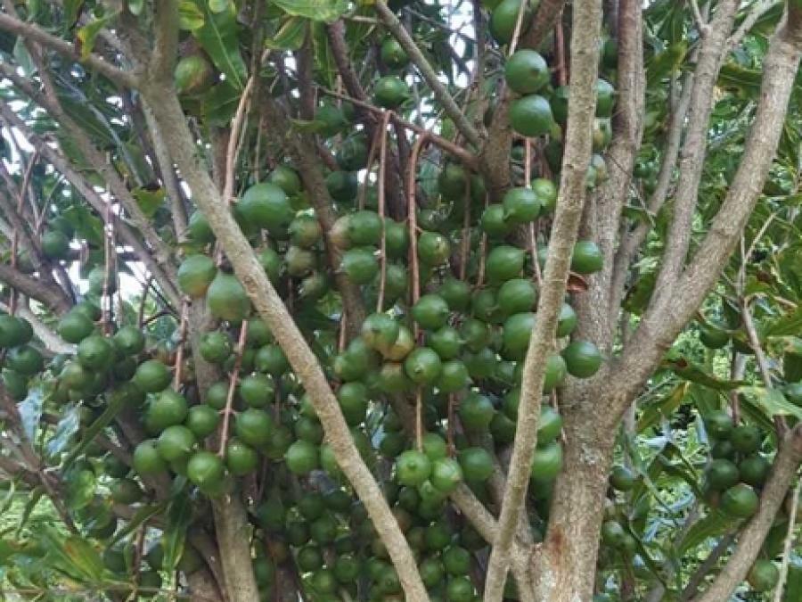 One of Torere Macadamias' varieties with premium crops