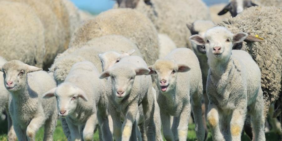 Free range sheep breeding potential joint ventures