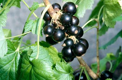 New Zealand blackcurrants support an active lifestyle