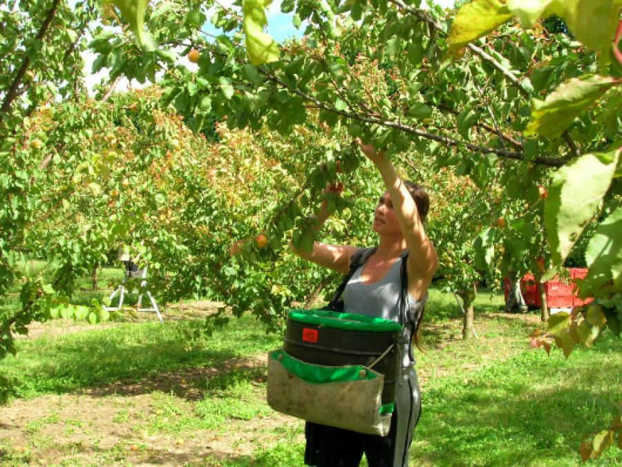 Hawke's Bay: Just 14 people answered urgent call for fruit-pickers