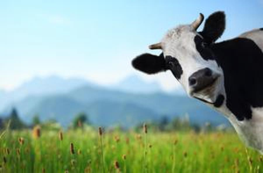 Connect your cow for $1.79 per month, via Spark