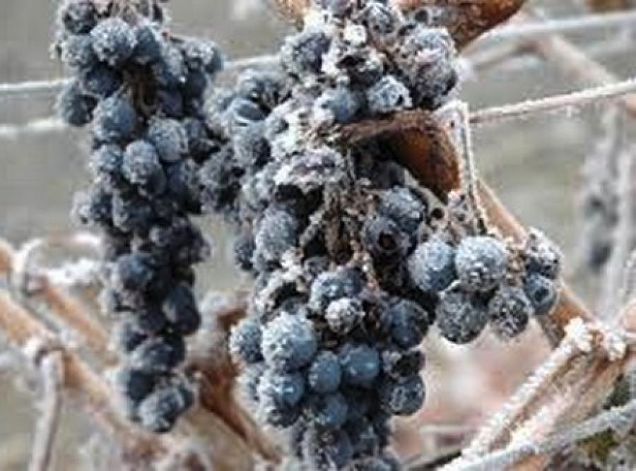 New Zealand: Central Otago frost - disaster avoided