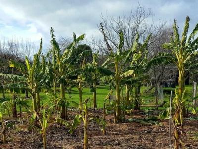Big plans for New Zealand's first commercial banana plantation