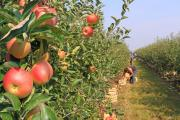 """New Zealand still on track for a bumper apple season"""