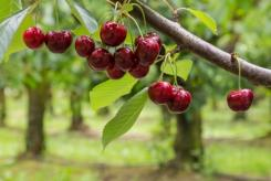 NZ: Torrential rain damages Teviot Valley fruit