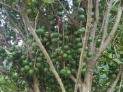 One of Torere Macadamias' varieties with premium crops