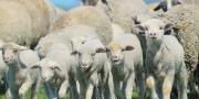 Free range sheep breeding potential joint ventures