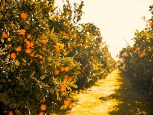 New Zealand satsuma mandarin season off to a good start