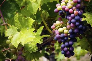 Artificial Intelligence to help wine profits flow