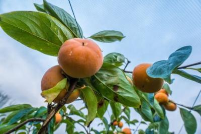 US to allow fresh persimmon imports from New Zealand