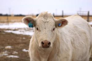 Allflex introduces cow monitoring solution for beef farms